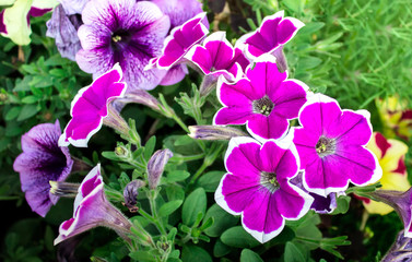 Close up of beautiful purple with white canvas petunia flowers. Horticultural perennial flowers in a garden.