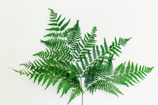 Beautiful healthy fern leaf on white background. Forest fern plant.