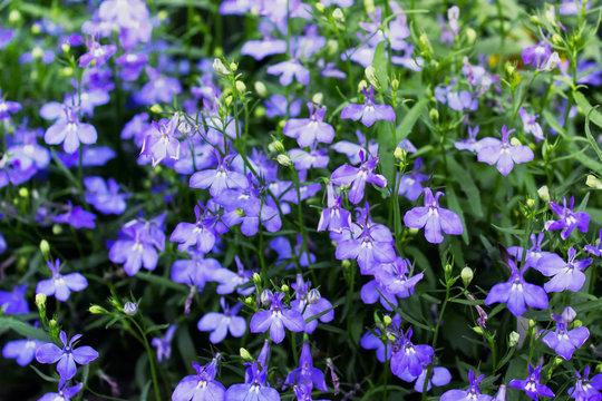 Lobelia flowers. Blue lobelias erinus plants in blossom.