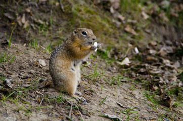 gopher eats a seed.