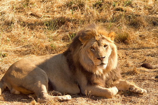 One young lion laying in brown grass and dirt on a hot sunny summer day looking slightly to viewers right.