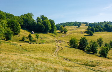 country road uphill into the beech forest. cattle of cow grazing near the shed. lovely summer scenery