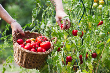 Farmer is harvesting tomatoes. Woman´s hands picking fresh tomatoes to wicker basket. Organic garden