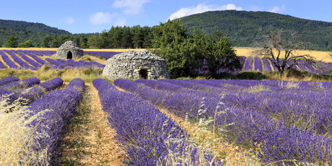 Aluminium Prints Lavender Old borie and lavender field in Provence, south of France