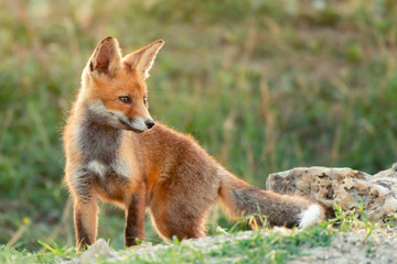 Little Red Fox near his hole