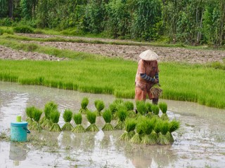 Agriculture in rice fields