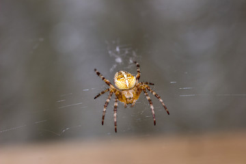 Garden Spider (Araneus diadematus) sits on her web