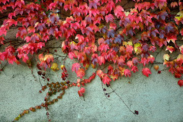 Colorful red and green ivy on the wall in autumn. Nice for background or texture.