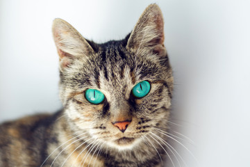 beautiful gray cat with turquoise eyes