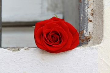 Red Rose on the window sill