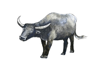 watercolor  buffalo  hand drawn  isolated white background.