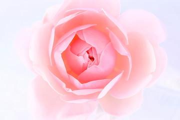 淡いピンクの薔薇の花びら、白背景