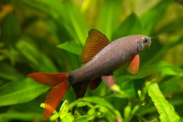 Epalzeorhynchos frenatus, freshwater fish, nature aquarium, closeup nature photo
