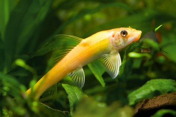 Gyrinocheilus orange, freshwater fish, algae eater in aquarium, closeup nature photo