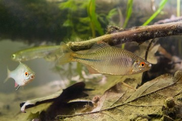Rhodeus amarus, European bitterling, freshwater fish, male in spawning coloration, biotope aquarium, closeup nature photo
