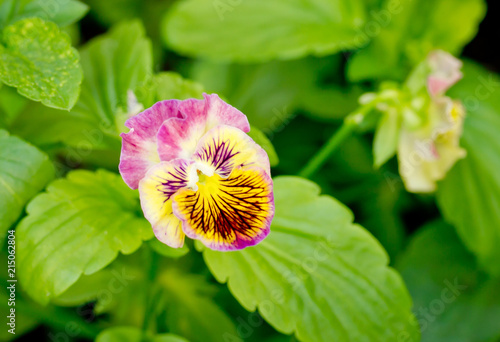 Pink pansy flowers in garden stock photo and royalty free images on pink pansy flowers in garden mightylinksfo