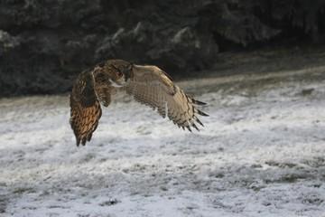Eurasian Eagle Owl (Bubo bubo), hunting flight, winter, snow