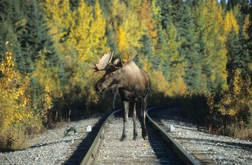 Moose or Elk bull (Alces alces) on a railway line, Alaska, North America
