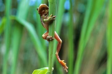 European Tree Frog (Hyla arborea), Allgaeu, Germany, Europe