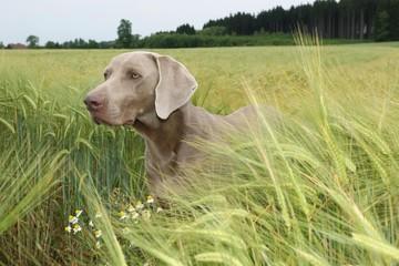 Short hair Weimaraner, hunting dog in a wheat field