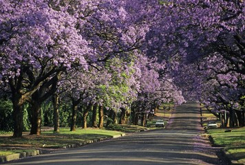 Jacaranda in blossom, Pretoria, South Africa, Africa