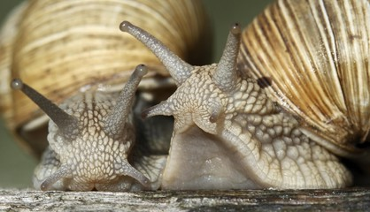 Two snails in their shells