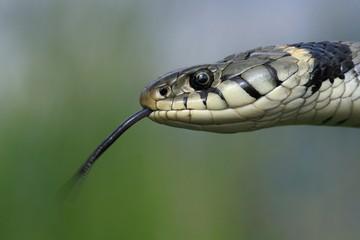 Ring Snake, (Natrix natrix) flickers its tongue