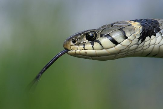 Ring Snake, (Natrix natrix) flickers its tongue