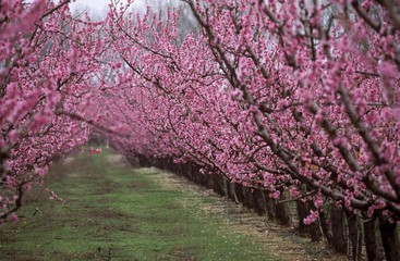 Flowering peach tree orchard, peach tree (Prunus persica), Provence, France, Europe