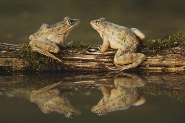 Frogs sitting on log in pond