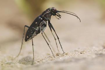 Tiger Beetle (Cicindela ocellata), adult on sand, Willacy County, Rio Grande Valley, Texas, USA, North America