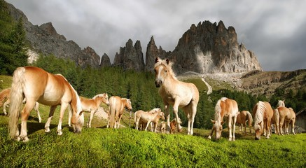 Haflinger horses grazing in a mountain meadow and peaks of the Rosengarten Massif, Tiers, Bolzano-Bozen, Italy, Europe