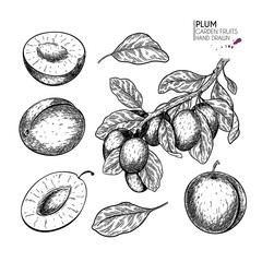 Hand drawn whole plum, slice and branch. Vector engraved illustration. Juicy natural fruit. Food healthy ingredient. For cooking, cosmetic package design, medicinal herb, treating, healt care.
