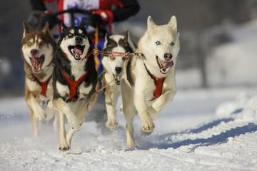 Musher mushing his Siberian huskies at sleddog race in Lenk, Switzerland, Europe