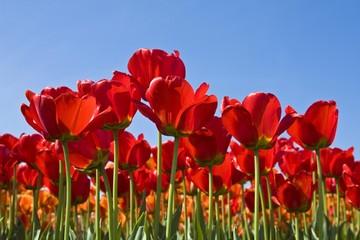 Red Tulips (Tulipa), Apeldoorn cultivar, variety