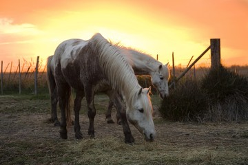 Camargue horses at sunset, Camargue, Southern France, Europe
