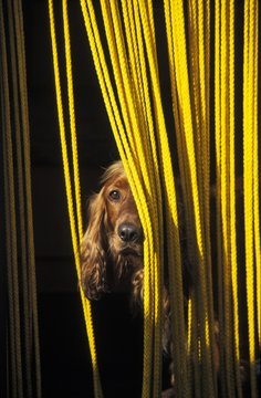 Dog looking through yellow curtain