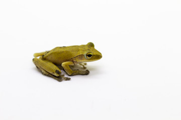 Image of Yellow frog on a white background