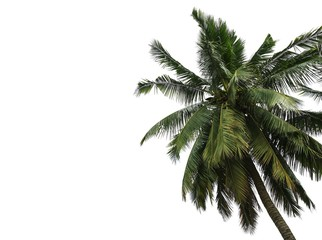 Coconut palm tree leaves isolated on white background