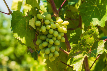 A branch of grapes in Vineyard, countryside,  Against Sun Light.