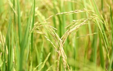 Rice field closeup blur nature landscape background