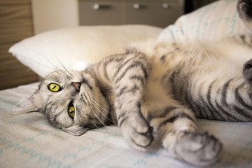 Grey cute tabby cat lying on bed