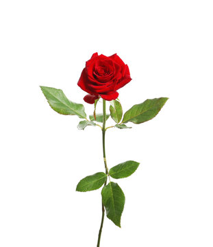 Red long stem rose on white background