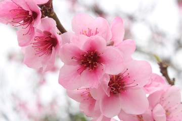 Close up of blooming cherry blossom pink flowers