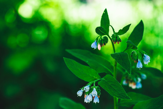 Blue flowers of comfrey with rich green leaves grow on bokeh background with copy space. Small bellflowers in macro. Beautiful plant close up.