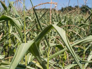 Fotoväggar - Hitzewelle - Maispflanzen vertrocknen