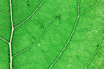 Close up view of part of the green leaf and veins