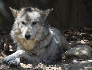 Elegant Wolf with His Paws Crossed in Relaxation