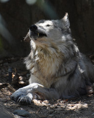 Wolf With HIs Eyes Closed Showing His Canine Teeth