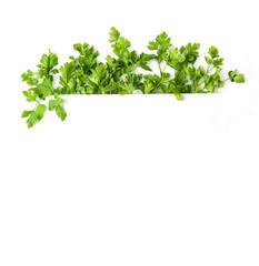 Photo with parsley. A frame of parsley. Botanical image isolated on white background